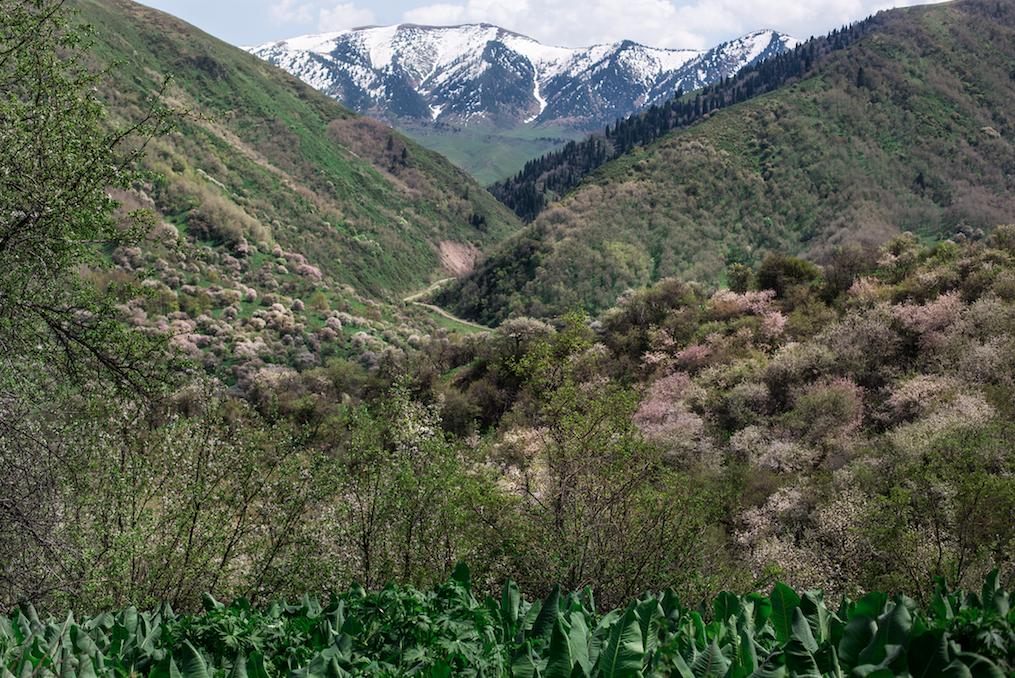 Foresta di Malus sieversii a 1.664 metri di altitudine, Trans-Ili Alatau, Zailiysky (fotografia di Catherine Peix, Associazione Alma).