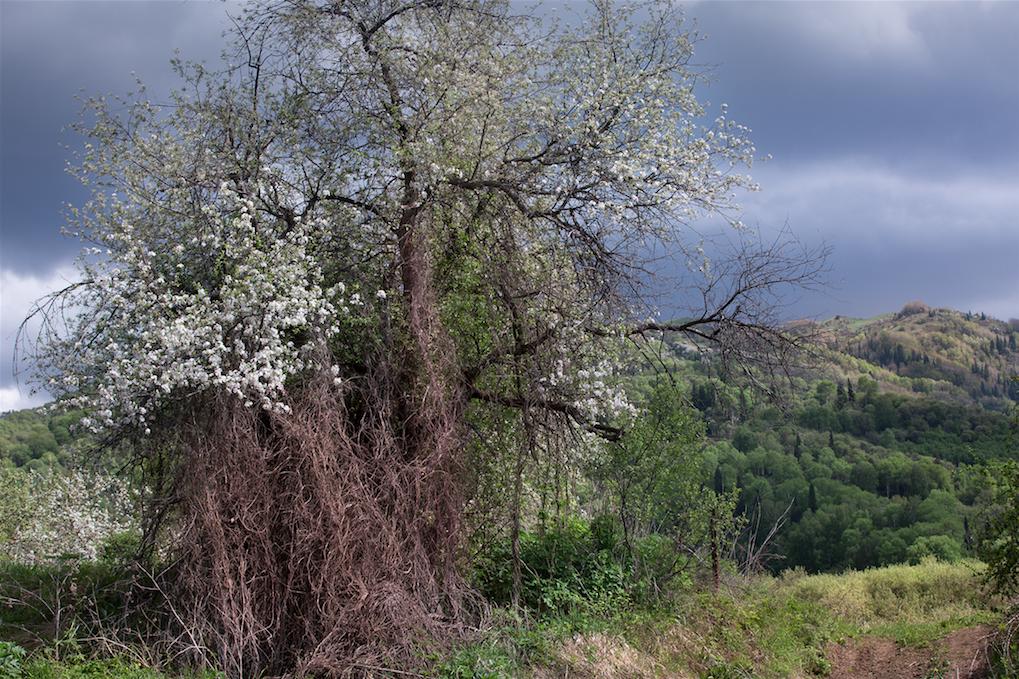 Esemplare di Malus sieversii di duecento anni di età ricoperto da un luppolo, a 1.800 metri di altitudine. Foresta di alberi da frutto, Djungarsky (fotografia di Catherine Peix, Associazione Alma).